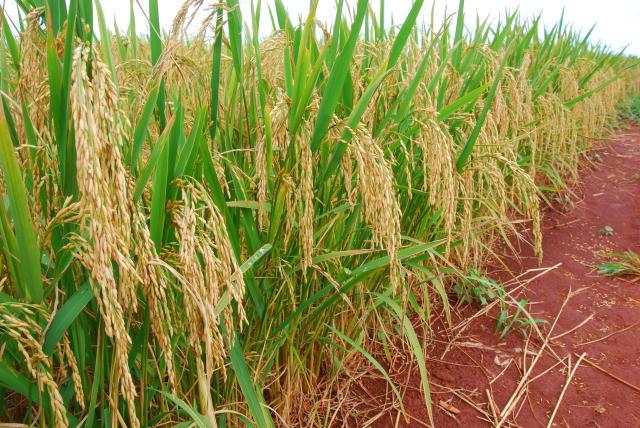 Resultado de imagem para arroz de terras altas