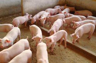 Imagem de Cooperation, communication and technology transfer for the production of safe pork without the use of antimicrobials
