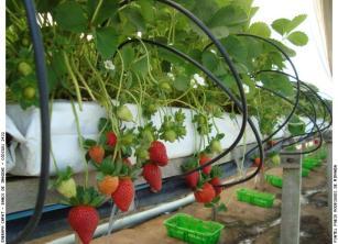 Produção de morangos em sistema hidropônico