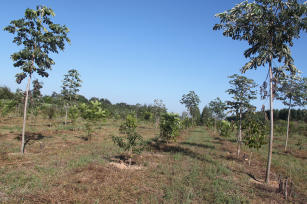 Imagem de Forest restoration of degraded areas as production systems in Legal Reserves in the Amazon/Cerrado buffer zone and in the Cerrado.