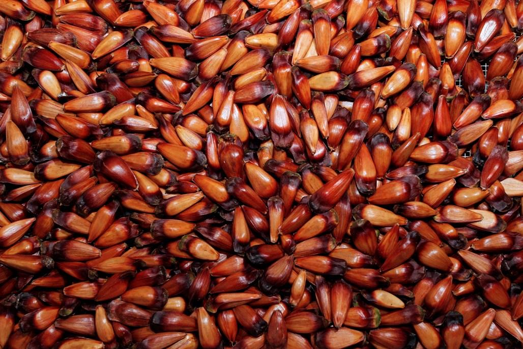 Semente da araucária é o pinhão, iguaria bastenta apreciada para alimentação.