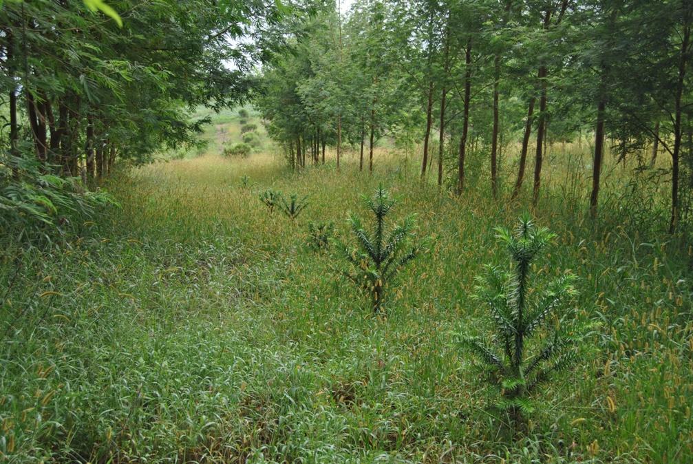 Avaliação de plantio de araucária em área de produtor rural