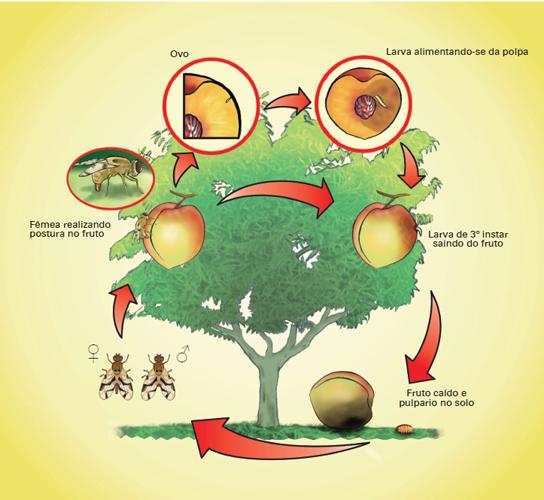 Ciclo biológico de mosca-das-frutas em pessegueiro