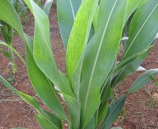 Figura 2. Planta de sorgo expressando sintoma de mosaico típico nas folhas