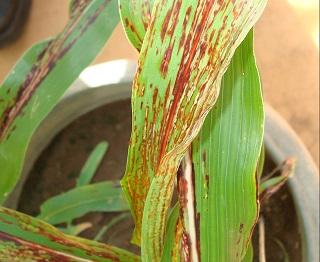 Figura 3. Folha de sorgo expressando sintoma necrótico nas folhas