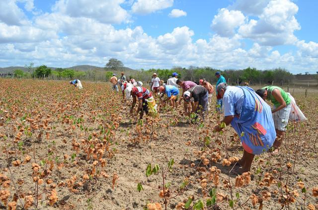 Edna Santos - Colheita coletiva de algodão colorido orgânico no Assentamento Margarida Maria Alves, no município de Juarez Távora, Paraíba