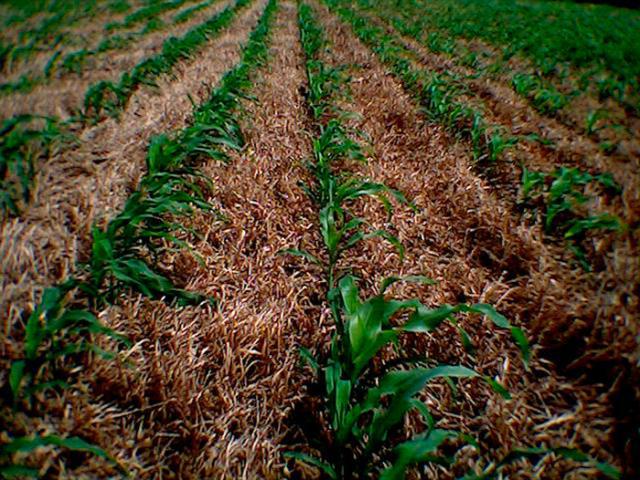 - - No plantio direto, a palha e restos vegetais são mantidos no solo