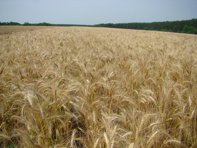 Manoel Bassoi - Lavoura de trigo
