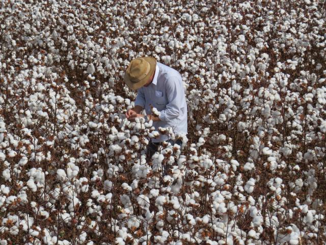Fabiano Perina - O destaque das cultivares de algodão da Embrapa deve-se à excelente adaptação ao ambiente tropical e aos grandes avanços obtidos em qualidade da fibra e resistência às principais doenças