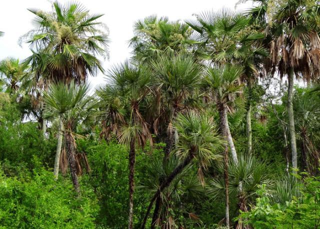 Resultado de imagem para palmeiras nativas do brasil