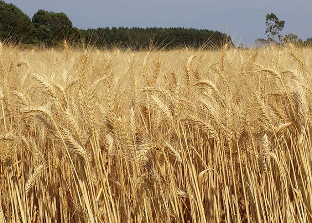 Fábiano Bastos - Lavoura cultivada com trigo BRS 394 em Cristalina (GO)