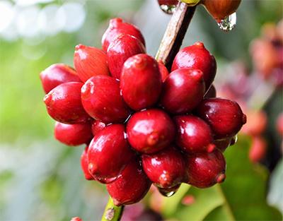 Cafeicultura de Rondônia na vanguarda da tecnologia