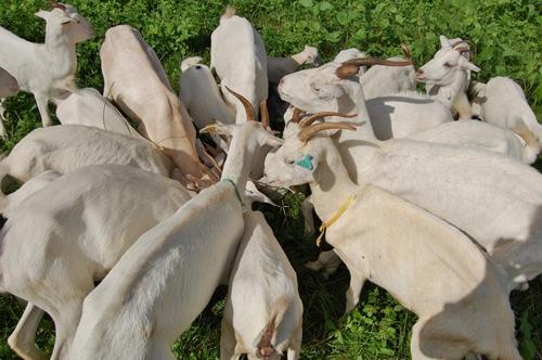 Magda Cruciol - Os caprinos também vão integrar o projeto de produção de alimentos na África