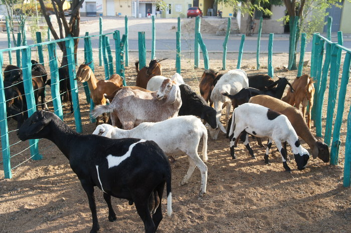 Adilson Nóbrega - Rebanhos de produtores participantes do Rota do Cordeiro em Tauá (CE)