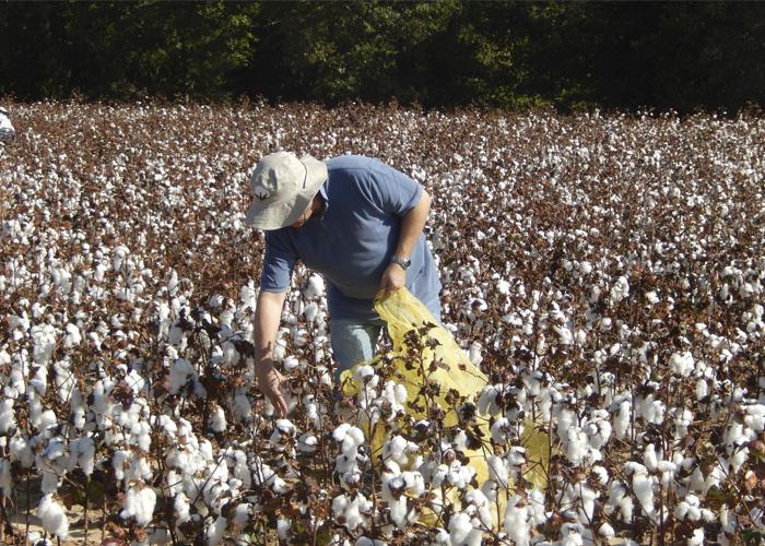 Valdinei Sofiatti - Lavoura de algodão. As cultivares BRS 286, BRS 293, BRS 335 foram avaliadas no Mississippi, Tennessee e Texas