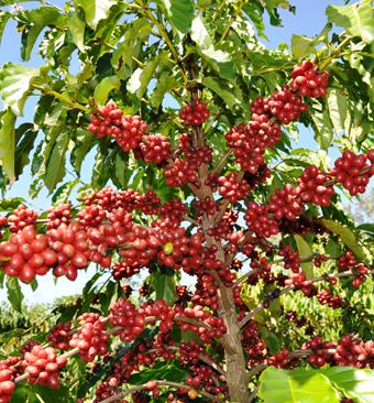 Cafeicultura de Rondônia teve ganhos de 100% de produtividade nos últimos cinco anos