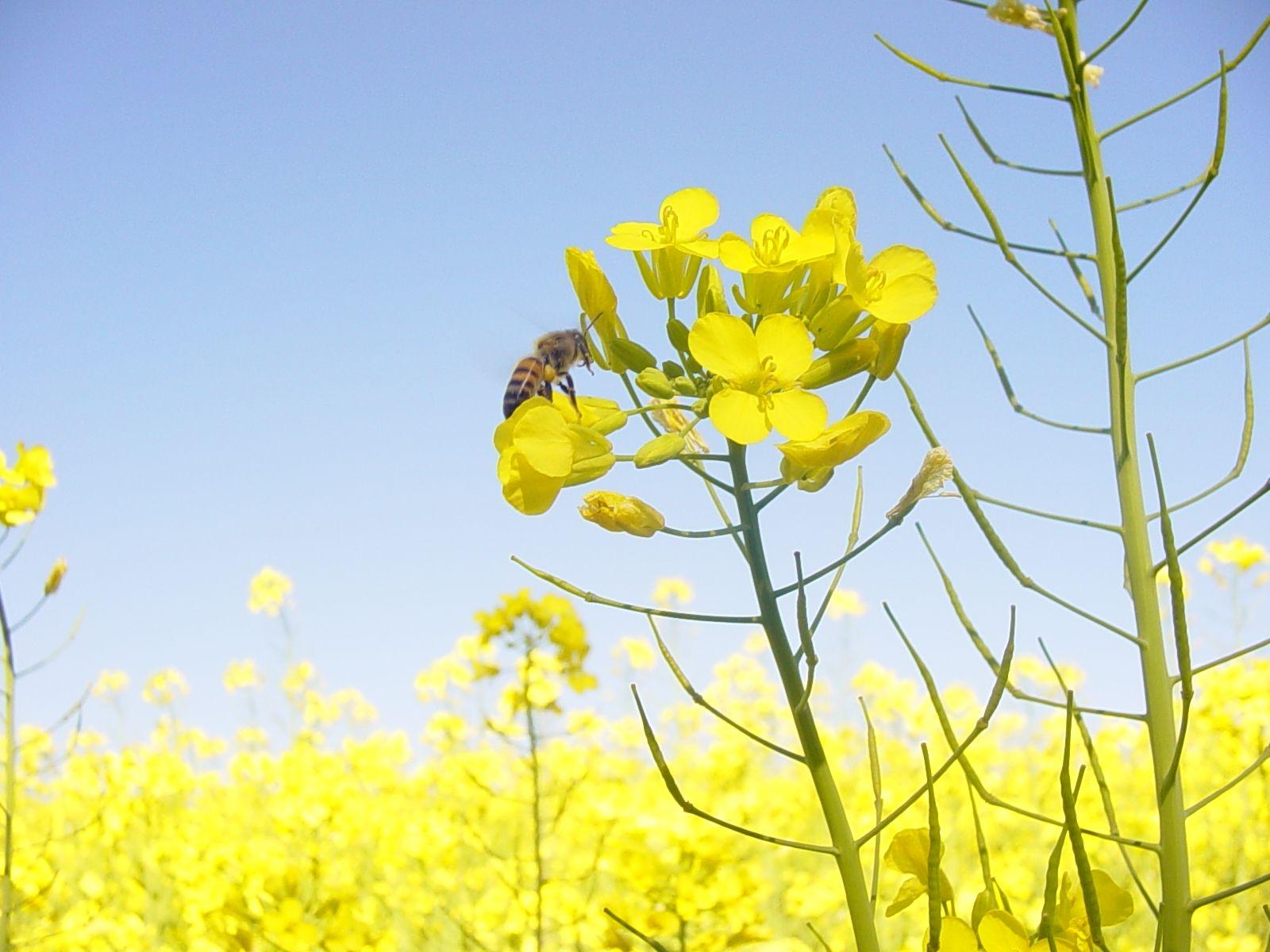 Nilton Bustão - Diversificar matérias-primas é ponto-chave para aumentar produção de biocombustíveis: canola é uma das alternativas