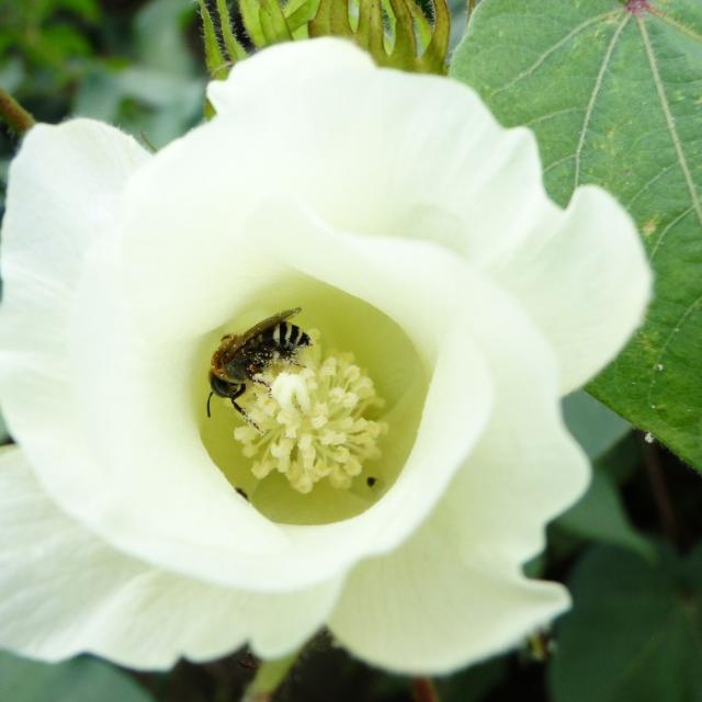 Viviane C. Pires - Abelha em flor de algodão