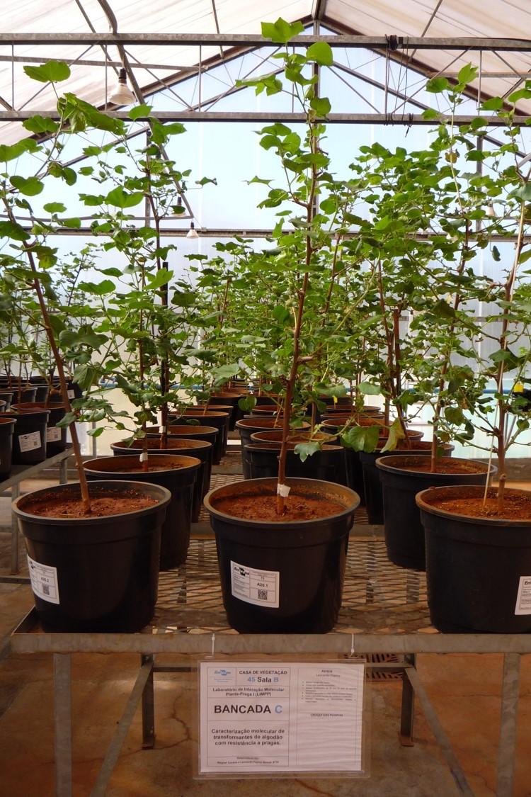 Fatima Grossi - Plantas de algodão GM testadas contra pragas na casa de vegetação da Embrapa