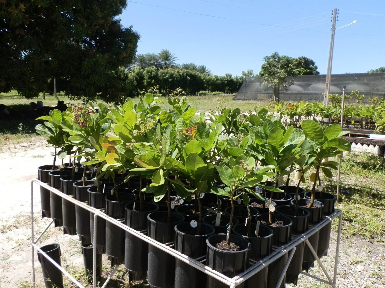 Clarissa Castro - A conservação das plantas de caju é feita prioritariamente no campo