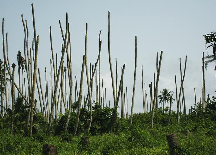 Miguel Dollet - A praga Candidatus Phytoplasma palmae, causadora da doença conhecida como amarelecimento letal do coqueiro, é uma das priorizadas pelo MAPA e a Embrapa.