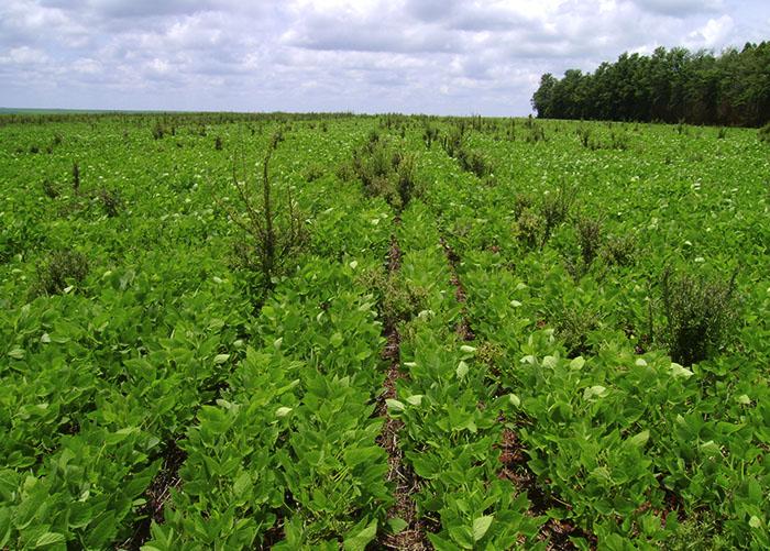 Resultado de imagem para plantas daninhas resistentes soja