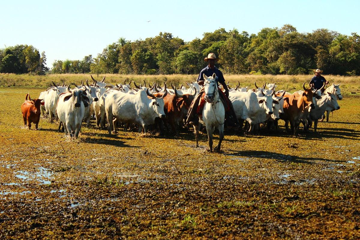 Nicoli Dichoff - Frequente na região, cheia exige a retirada de bovinos das fazendas