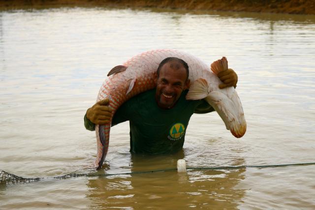Pesquisas ajudam a viabilizar a cria o do pirarucu em for Elaboracion de estanques para piscicultura