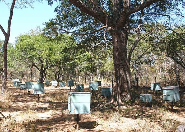 Estudo revela que sombreamento natural desenvolve abelhas mais rápido e melhora qualidade do mel