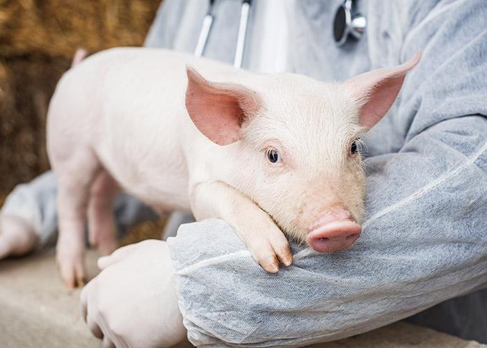 iStock - Cuidados com o bem-estar dos animais rendem bons resultados na suinocultura