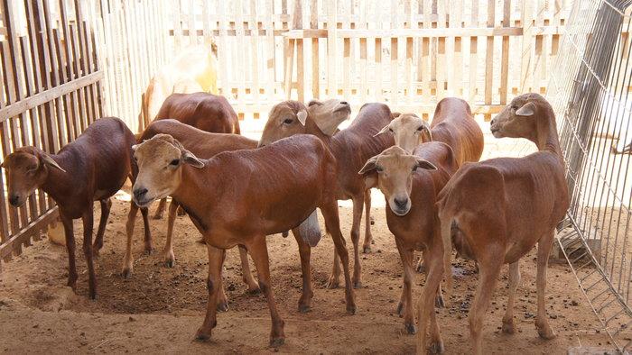 Adilson Nóbrega - Entre os animais do leilão, estarão ovinos da raça Morada Nova