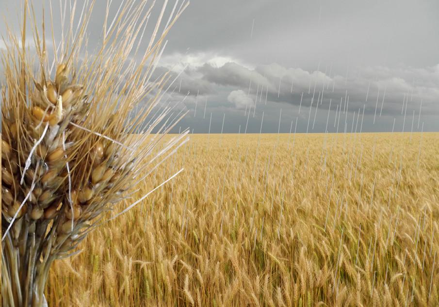 Joseani Antunes - Período de chuvas aumenta o risco de giberela e germinação nas espigas de trigo