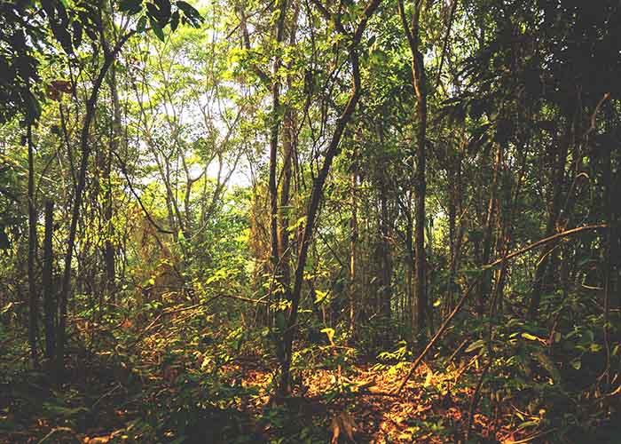 Adam Ronan - Florestas secundárias preservam cerca de 80% da biodiversidade em comparação às florestas primárias