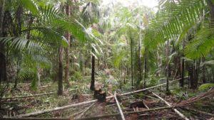 Silas Mochiutti - O software resulta da primeira fase do projeto Bom Manejo, desenvolvido pela Embrapa e financiado pelo ITTO, cujo objetivo é aplicar boas práticas de utilização e conservação das florestas.
