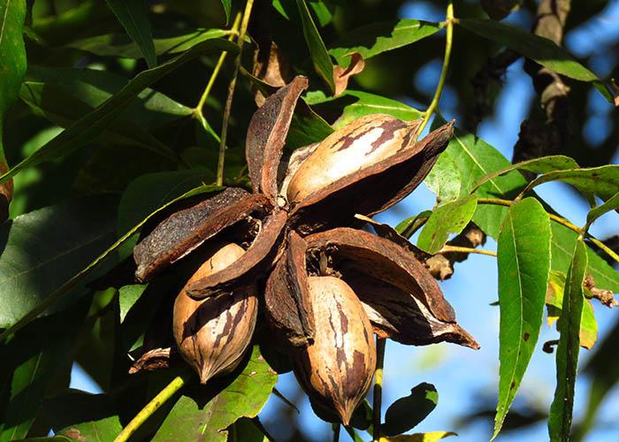 Carlos Martins - A nogueira-pecã é uma das poucas culturas alternativas para a entressafra de outras frutíferas no Brasil. A sua colheita ocorre no meses de abril e maio. É uma ótima opção para diversificação da propriedade rural.