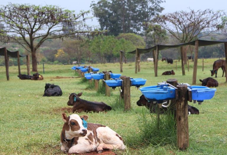 Gisele Rosso - Os bezerros ficam separados no piquete para evitar o contato direto entre os animais, o que facilita a transmissão de doenças.