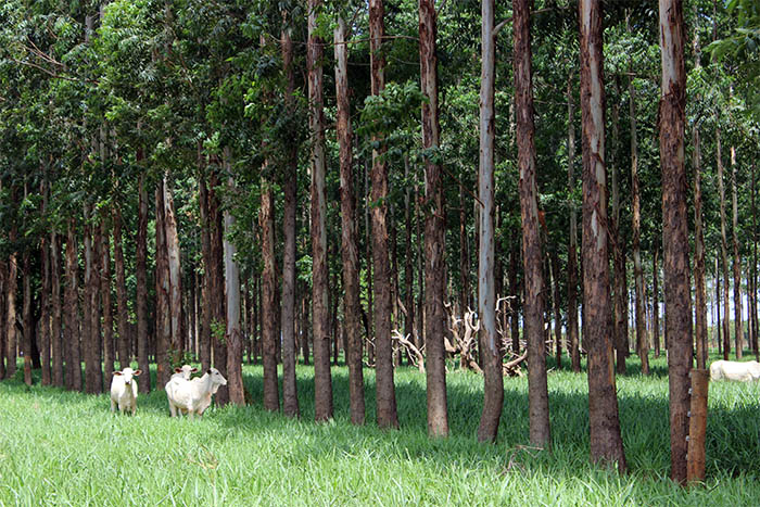 Rodrigo Alva - A carne carbono neutro (CCN) é produzida em sistemas integrados com a presença de árvores plantadas.
