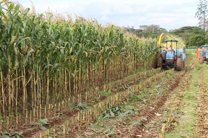Jaqueline Ribas - Silagem de milho requer cuidados desde antes do plantio da lavoura