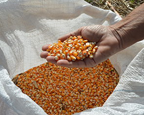 Guilherme Viana - Aplicativo traz as cultivares de milho disponíveis no mercado