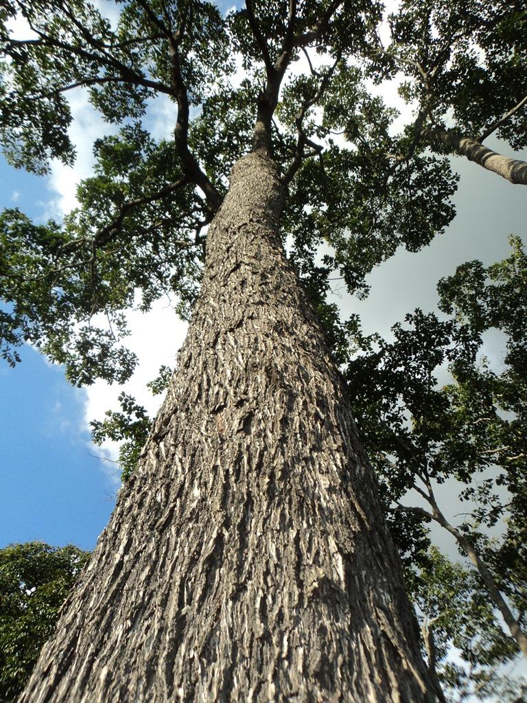 Renata Silva - A castanheira é um ícone das florestas tropicais por sua importância social, econômica e como uma espécie chave para conservação