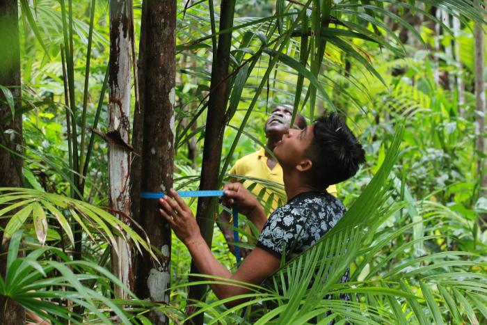 Ronaldo Rosa - Inventário das touceiras de açaí é uma das etapas do manejo