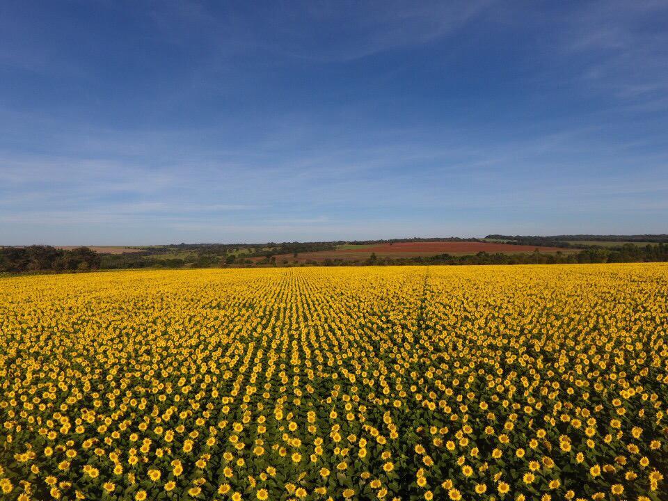 - Floração de lavoura de girassol na região de Ipameri (GO)