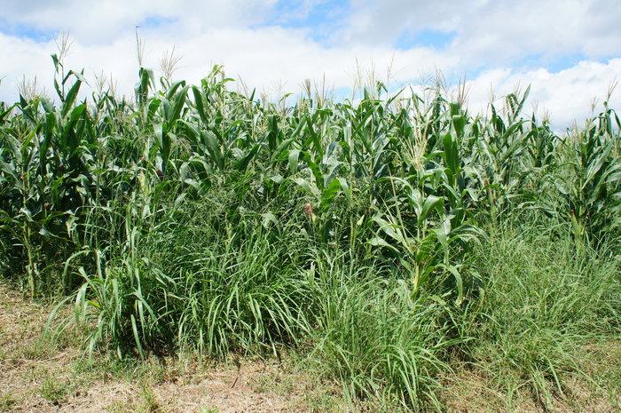 Adilson Nóbrega - Consórcio de milho e capim Massai é uma das alternativas em sistemas de integração lavoura-pecuária