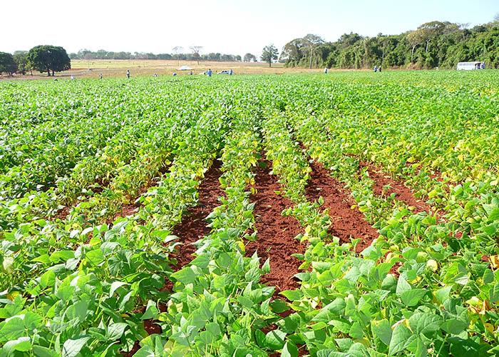 Murillo Lobo - Na faixa central, plantas com desenvolvimento comprometido causado pela podridão radicular seca