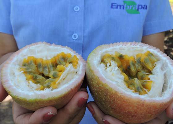 Gabriel Faria - Solução está reativando a produção da fruta no estado, abandonada por 90% dos produtores por causa da fusariose