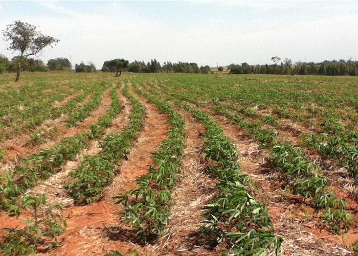 Sistema de plantio direto na lavoura de mandioca