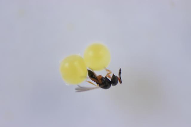 Claudio Bezerra - A ecologia química se baseia no estudo de sinais químicos emitidos por insetos e plantas para se comunicar. Alguns desses sinais químicos, como os feromônios, são liberados pelos insetos e se propagam pelo ar, atraindo predadores. É o caso da vespa que parasita ovos do percevejo marrom da soja.