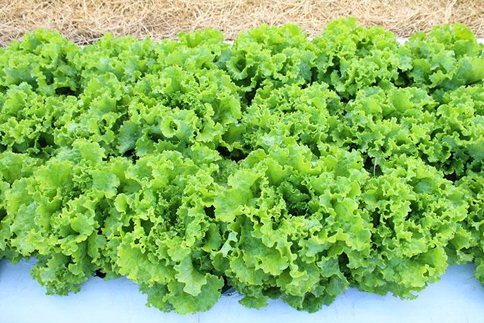 Novas cultivares de alface crespa suportam até dez dias mais o calor -  Portal Embrapa
