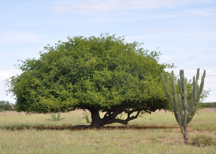 Marcelino Ribeiro - Cultivares de umbuzeiro deverão estabelecer uma forte cadeia produtiva do fruto ao viabilizar as plantações