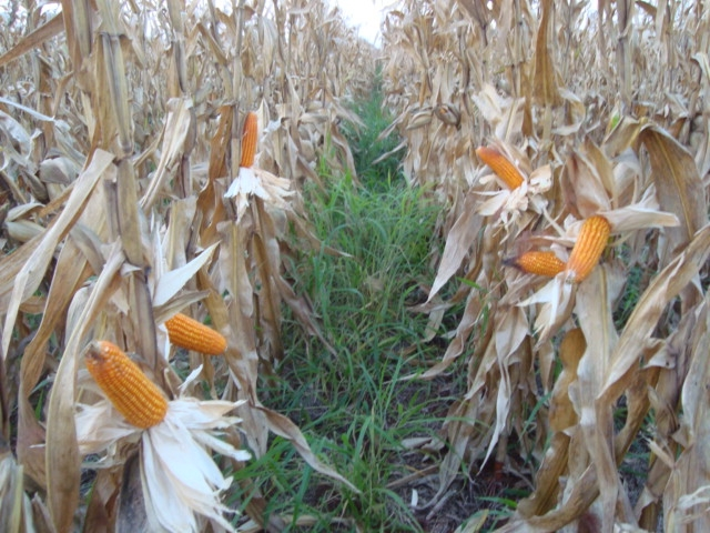 Resultado de imagem para Embrapa valida zoneamento de consórcio de milho com braquiária para Mato Grosso